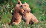warm-lion-embrace-224030